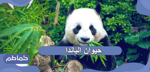 حيوان الباندا حقائق ومعلومات مثيرة عن حيوان الباندا