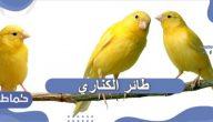 طائر الكناري .. تربية طائر الكناري في البيت .. طعام طائر الكناري